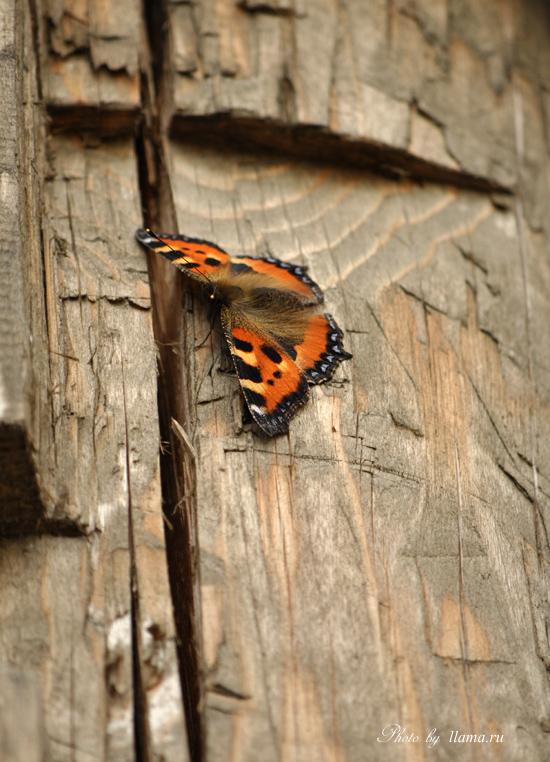 бабочка на старой деревяшке